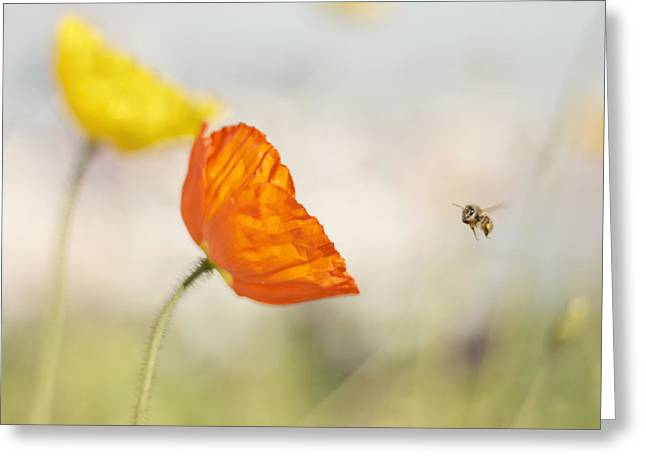 Honey Bee And Colorful Poppies Greeting Card