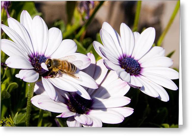 Honey Bee On Blue Eyed Daisies Greeting Card