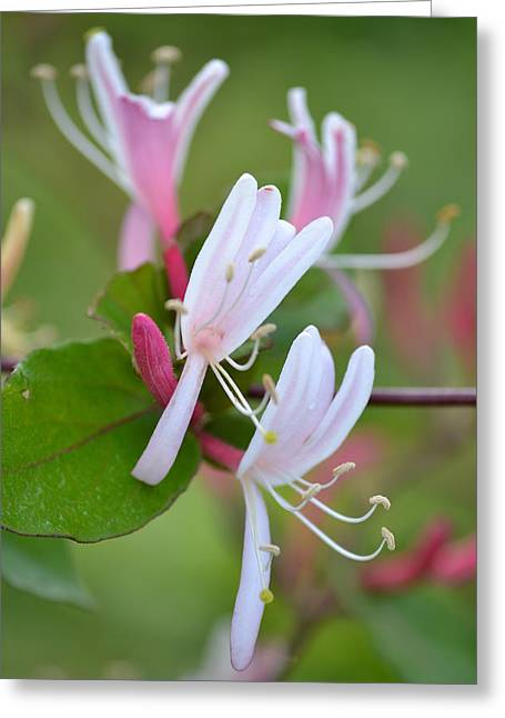 Greeting Card featuring the photograph Honeysuckle by JD Grimes