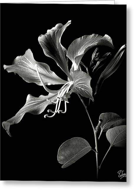 Hong Kong Orchid In Black And White Greeting Card