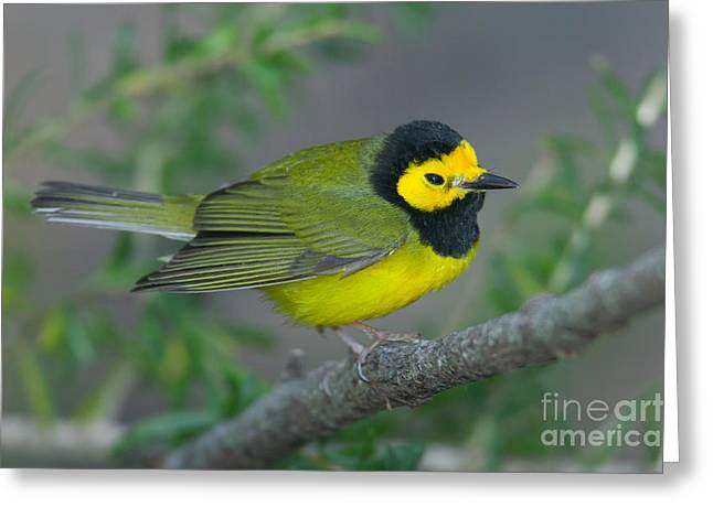 Hooded Warbler Greeting Card by Clarence Holmes
