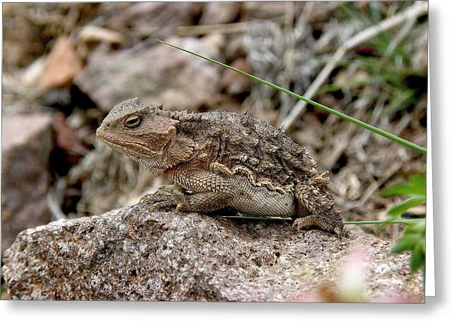Horned Toad Greeting Card by FeVa  Fotos