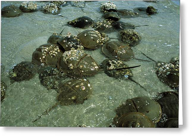 Horseshoe Crab Research Greeting Card by Volker Steger