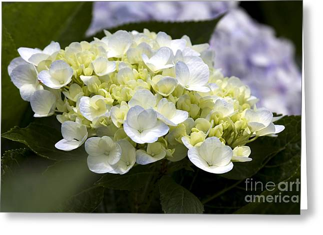 Hortensia Greeting Card by Patty Malajak