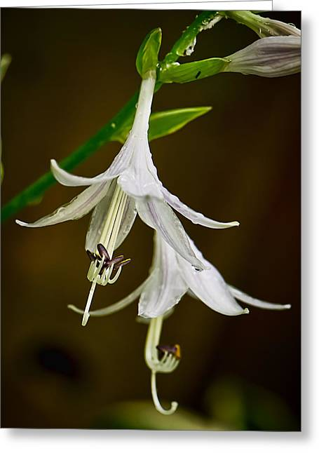 Hosta Bells Greeting Card by Michael Putnam