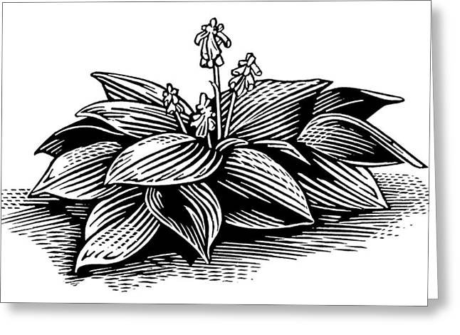 Hosta, Lino Print Greeting Card by Gary Hincks
