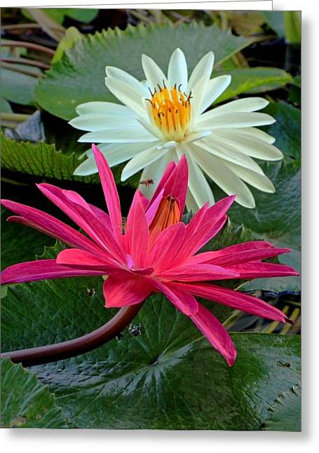 Greeting Card featuring the photograph Hot Pink And White Water Lillies by Larry Nieland
