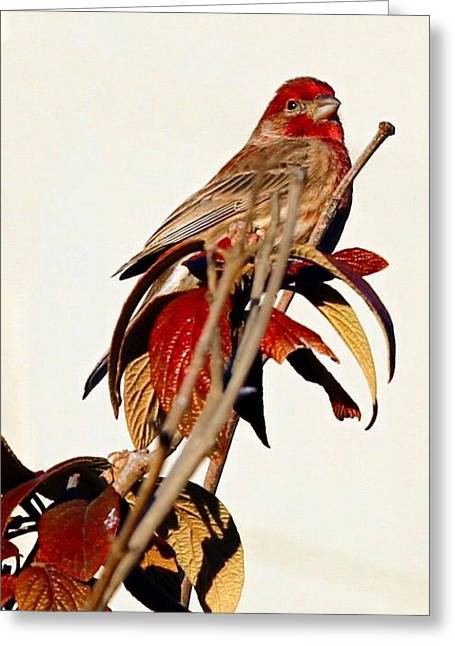 Greeting Card featuring the photograph House Finch Perch by Elizabeth Winter