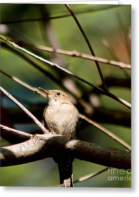 House Wren Greeting Card by Mitch Shindelbower