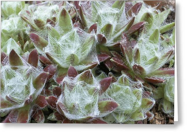 Houseleek Rosettes Greeting Card by Archie Young