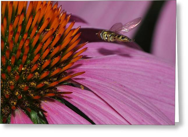 Hoverfly Hovering Over Cornflower Greeting Card