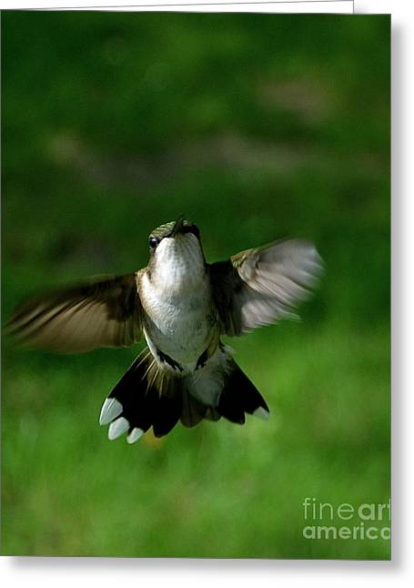 Hovering Hummingbird  Greeting Card by Sue Stefanowicz