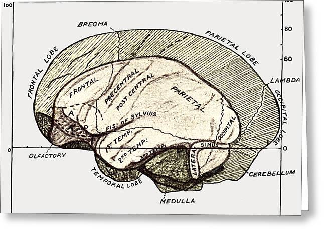 Human And Gorilla Brains Greeting Card by Sheila Terry