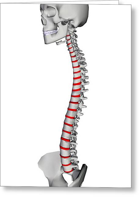 Human Backbone, Artwork Greeting Card by Friedrich Saurer