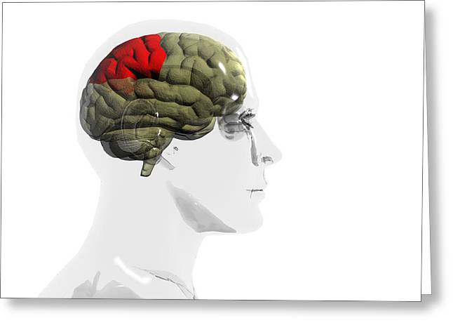Human Brain, Parietal Lobe Greeting Card by Christian Darkin