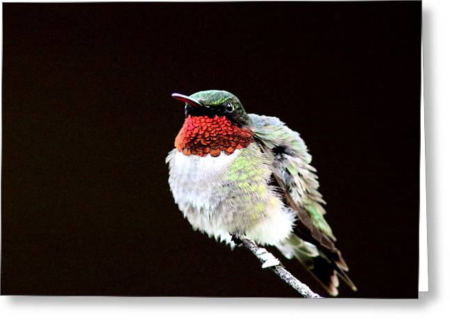 Hummingbird - Ruffled Feathers Greeting Card by Travis Truelove