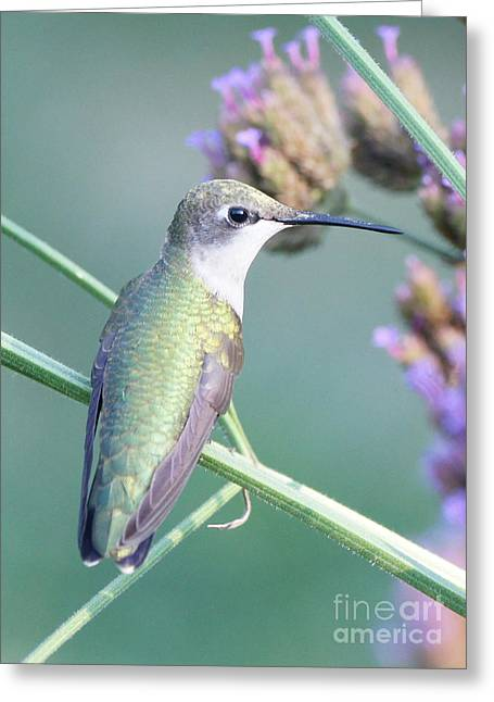 Hummingbird At Rest Greeting Card by Robert E Alter Reflections of Infinity
