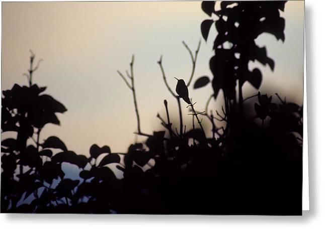 Hummingbird At Sunset Greeting Card