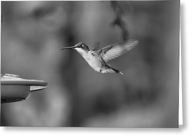 Hummingbird  Black And White Greeting Card by Donna Brown