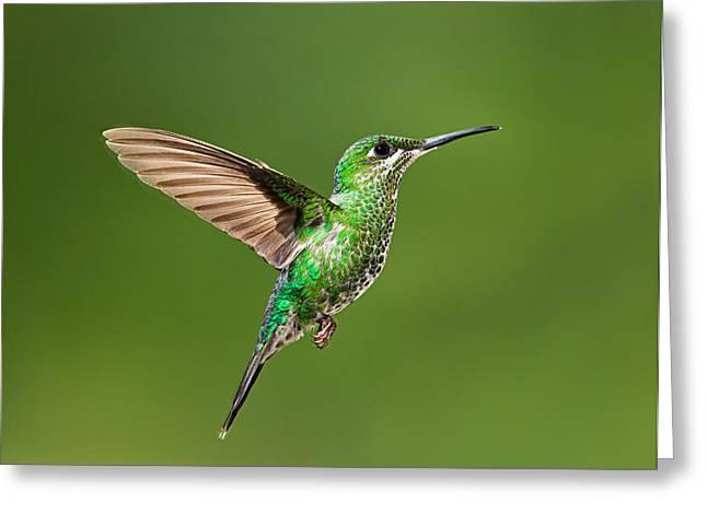 Hummingbird In Flight Greeting Card by Hali Sowle