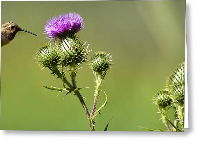 Hummingbird In Flight - Milkweed Thistle Greeting Card by James Ahn