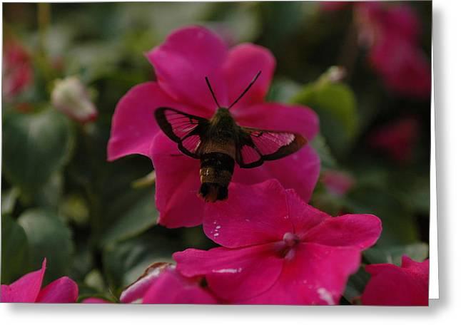 Hummingbird Moth Greeting Card by Rafael Figueroa