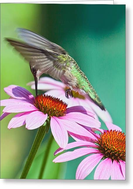 Greeting Card featuring the photograph Hummingbird On Coneflower by Susi Stroud