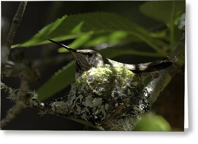 Greeting Card featuring the photograph Hummingbird On Nest by Betty Depee