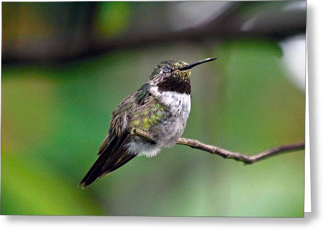 Hummingbird's Nap Time Greeting Card