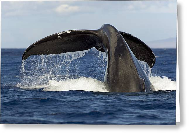 Humpback Tail Greeting Card