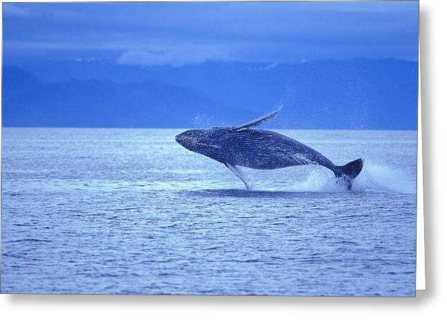 Humpback Whale Breach Greeting Card by John Pitcher