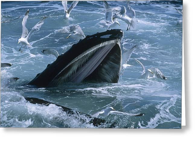 Humpback Whale Gulp Feeding Greeting Card