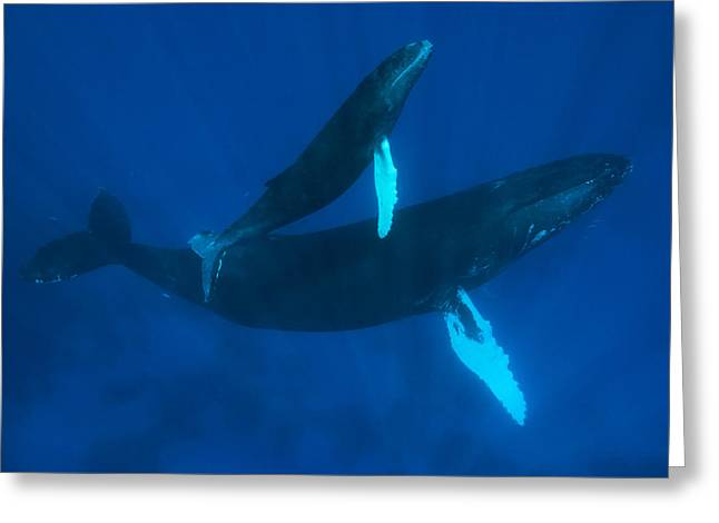 Humpback Whale, Megaptera Novaeangliae Greeting Card by Mauricio Handler