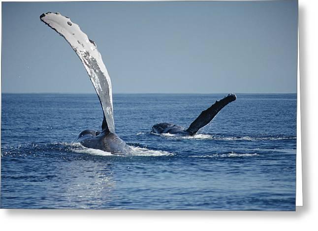 Humpback Whale Pectoral Slap Maui Greeting Card by Flip Nicklin