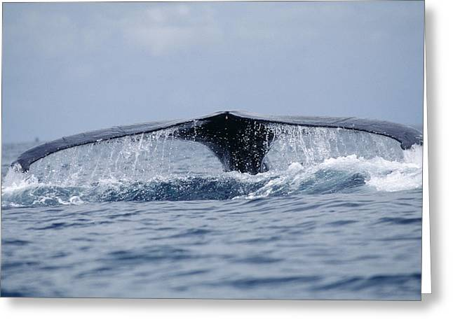 Humpback Whale Tail Greeting Card by Alexis Rosenfeld