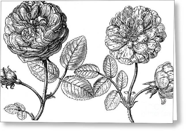 Hundred-leafed Rose Greeting Card by Granger