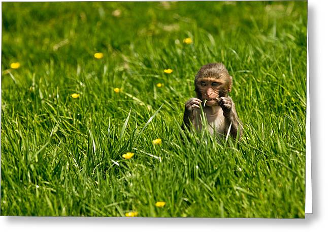 Greeting Card featuring the photograph Hungry Monkey by Justin Albrecht