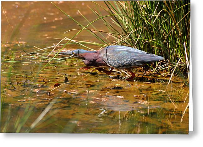 Hunting Green Heron - C9822b Greeting Card by Paul Lyndon Phillips