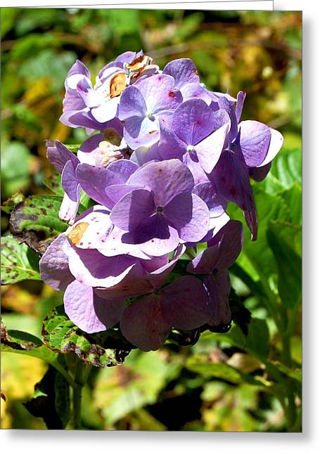 Hydrangea Bloom Greeting Card by Beverly Hammond