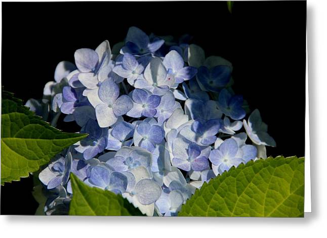 Hydrangea In The Morning Greeting Card