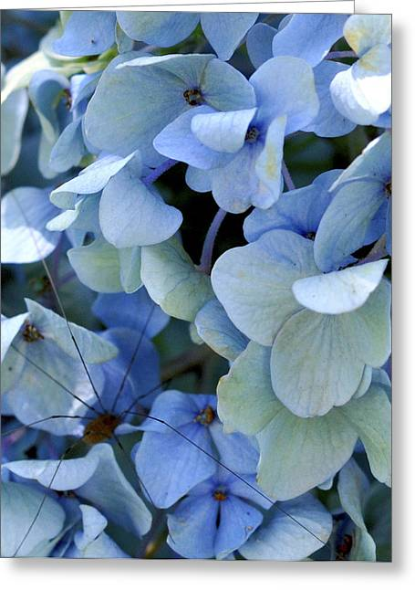 Hydrangea Spider Greeting Card