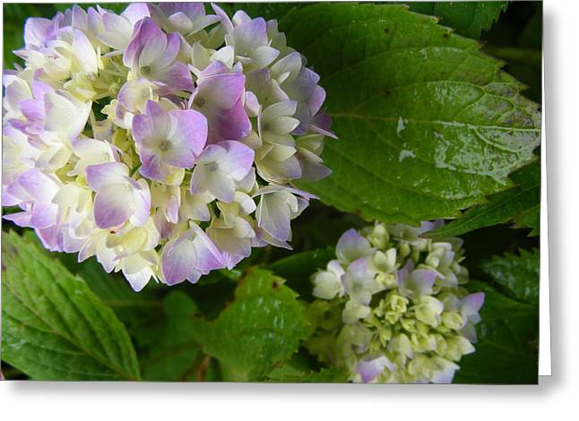 Hydrangeas-soon To Be Greeting Card