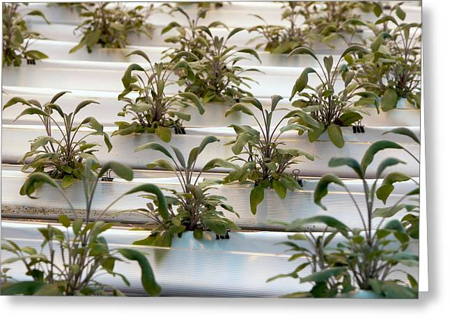Hydroponic Cultivation Of Sage Plants Greeting Card by Dilston Physic Gardencolin Cuthbert