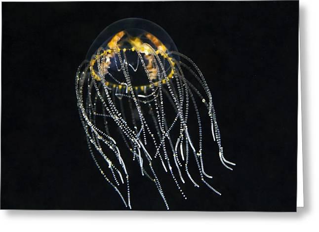 Hydrozoan Medusa Greeting Card by Alexander Semenov