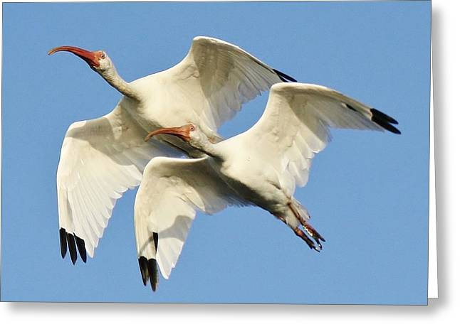 Ibis In Flight Greeting Card by Paulette Thomas