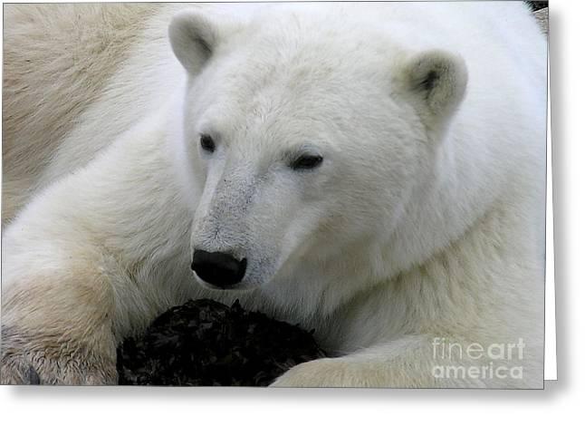 Ice Bear Greeting Card by Anne Gordon