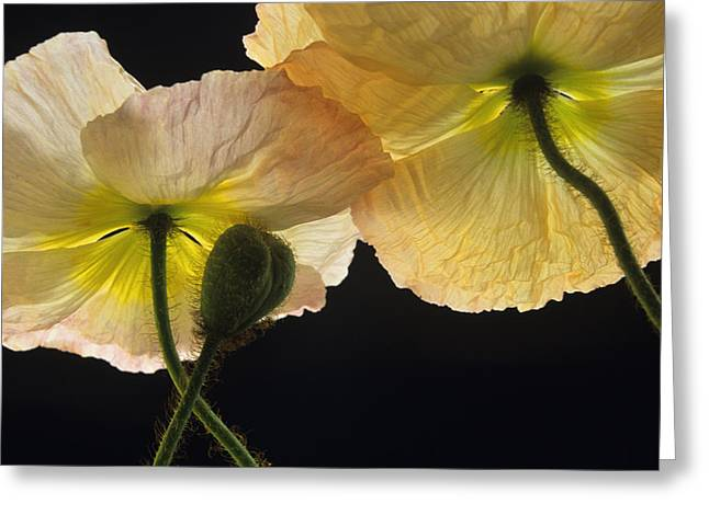 Greeting Card featuring the photograph Iceland Poppies 2 by Susan Rovira