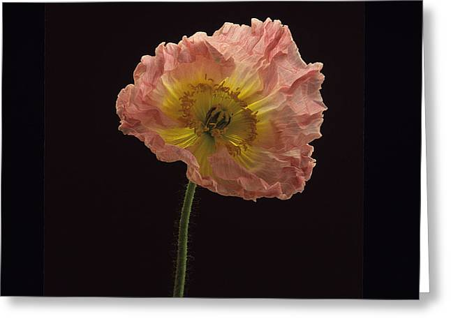 Greeting Card featuring the photograph Iceland Poppy 3 by Susan Rovira