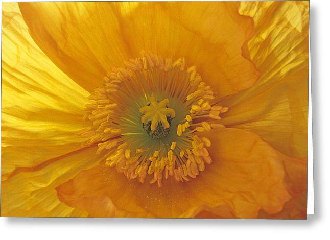 Greeting Card featuring the photograph Iceland Poppy 4 by Susan Rovira