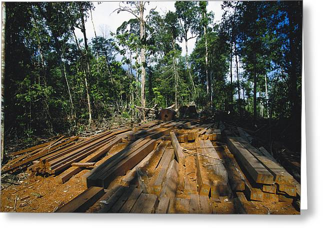 Illegal Logging Site, Felled Trees Greeting Card by Tim Laman